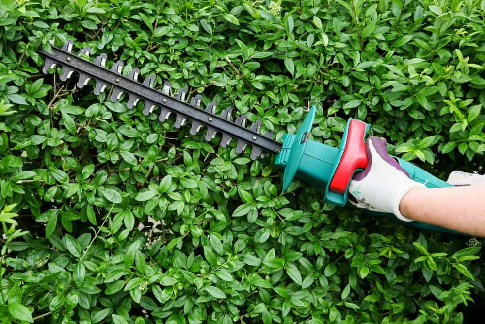 trimming a bush with a hedge trimmer